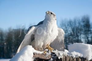 Falcon Thaw graphic