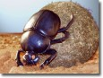 The Dung Beetles logo
